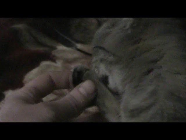Маленькая кошечка Соня интересно моет себе лапки и хазяину руку взаиная подписка секс малолетки школьницы студентки мамочки шкуры