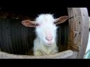 Бабушка из села показывает коз и маленьких козлят