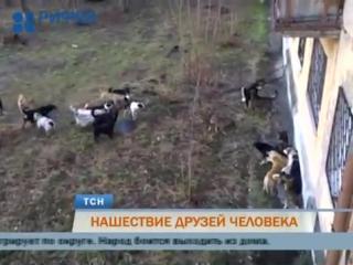 Огромная стая бродячих собак терроризирует жителей Закамска (г. Пермь)