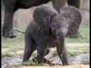 Купание слонёнка: видеотрансляция