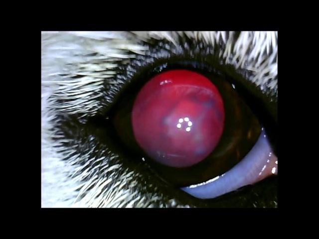 Катаракта у собаки породы сибирский хаски