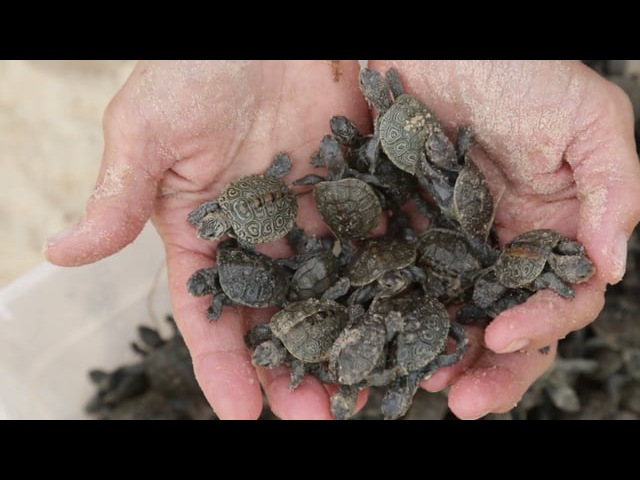The Terrapin Nesting Project