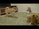 Сиба ину лает на игрушки повторяшки Shiba Inu barks at talking toys