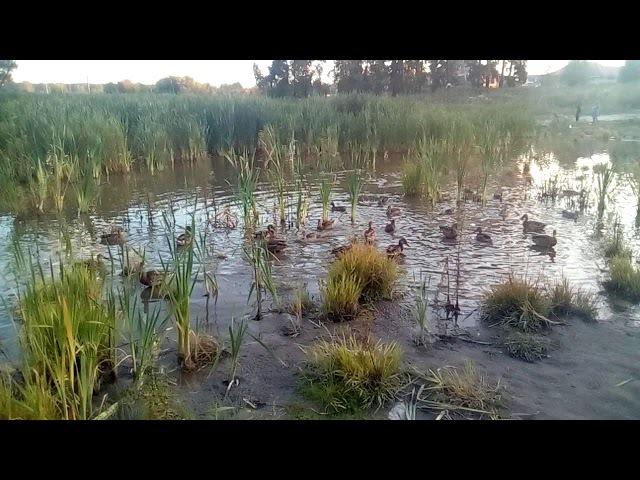 Утки на безымянном озере. Новосибирск / Ducks on a nameless lake. Novosibirsk