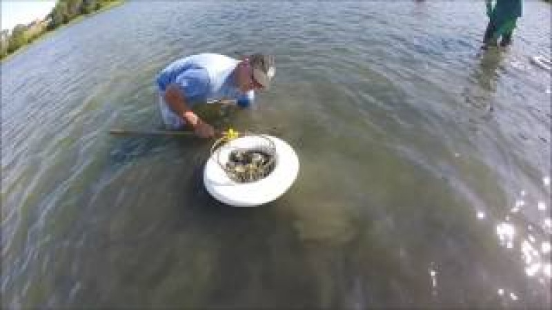 Clam digging Cape Cod, Eastham. 1/2 hour of Newbie success 1080p (met on way out by game warden)