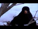 Черный дрозд в лютый мороз! Дрозды не улетели!