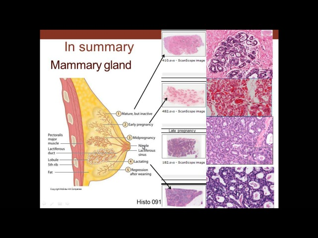 18. Medical School Histology. Female Reproductive System - Part 3 - Cervix, Mammary Gland, Placenta