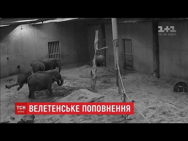 У бельгійському звіринці народилося 100-кілограмове слоненя