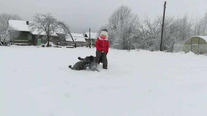 Фландрский бувье -щенки 4 мес