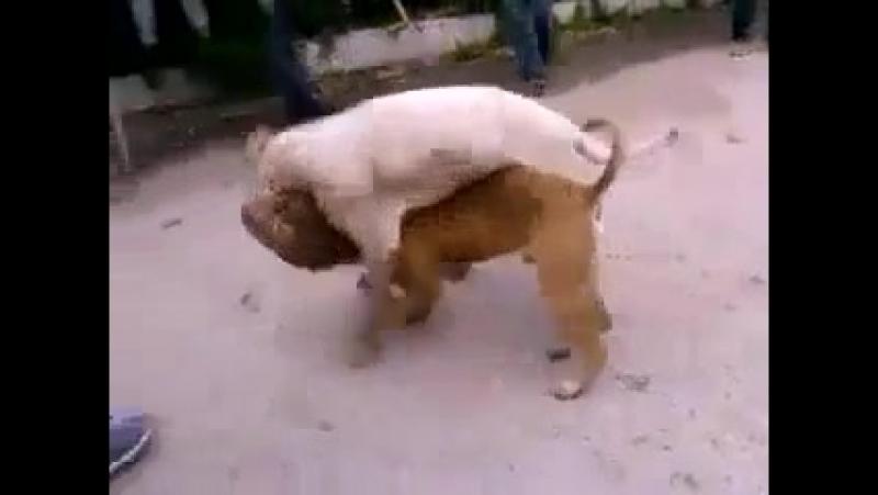 Собачьи бои молодой аргентинский дог vs толстый питбуль