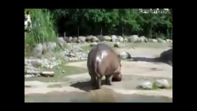 бегемот пукнул