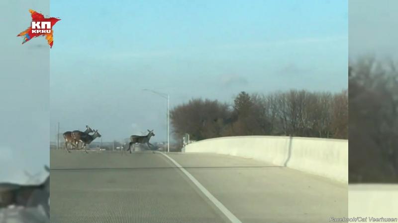Стало оленей разбилось, спрыгнув с моста в США