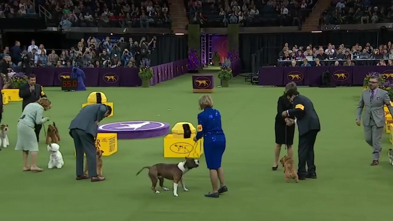 Winston the Norfolk Terrier wins the Terrier Group _ WESTMINSTER DOG SHOW (2018) _ FOX SPORTS