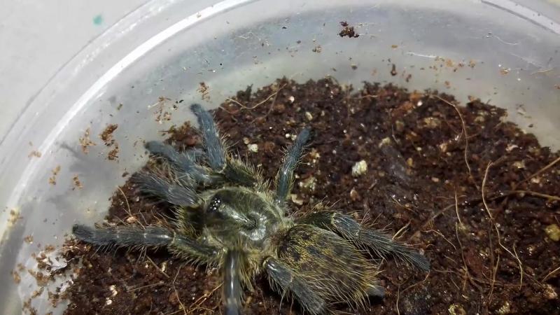 Недавно полинявший Ceratogyrus Darlingi