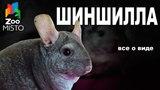 Шиншилла - Все о виде грызуна Вид грызуна - Шиншилла