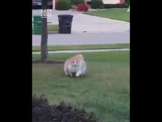 Жирный кот убегает от хозяйки