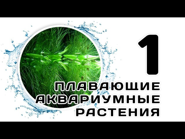 Плавающие аквариумные растения. Часть 1. Сальвиния плавающая. Ряска малая. Риччия