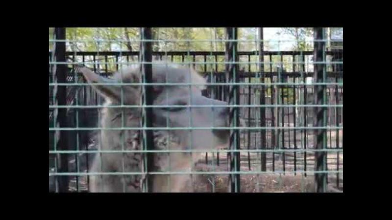 Ламы за прутьями зоопарка