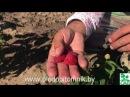 Малина Пингвин. Ремонтантная малина для промышленных посадок, растёт как малиновое дерево.