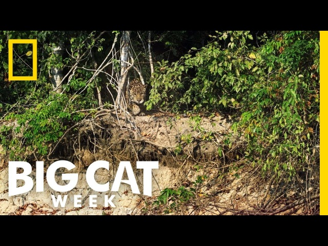 Jaguar vs. Caiman | Big Cat Week