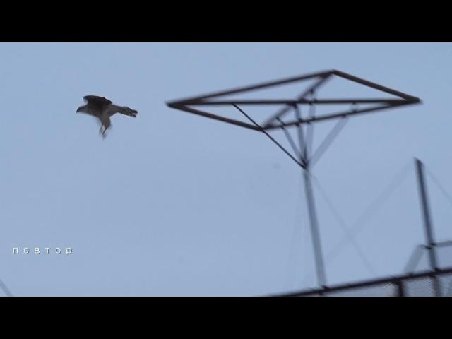 Ястреб хищная птица кидается на николаевских голубей. -15 мороза 28.01.2018