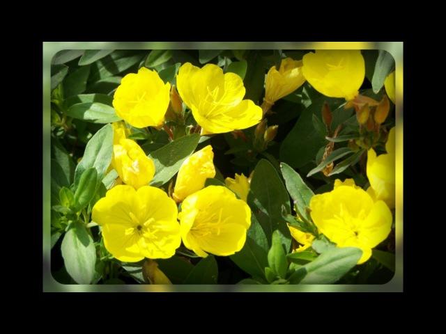 Садовые цветы которые цветут только ночью Энотера Миссурийская