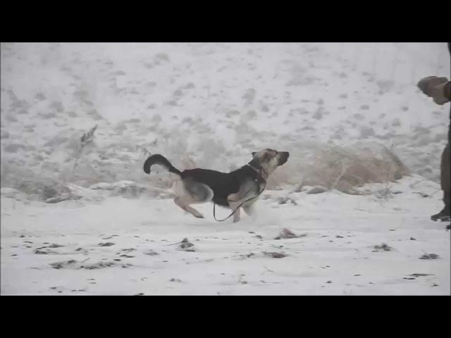 Восточноевропейская овчарка Юджин (Зулум) (ABREK FIELISS X VEO YUG AMALIA)