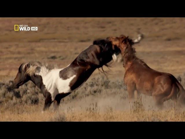Бойцовский клуб для животных (серия №2) - Дикие разборки в Америке!