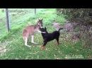 Приколы про животных кенгуру гладит собаку