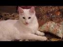 Презентация породы кошек турецкая ангора
