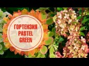 Эксклюзивная информация и фото из французского питомника 🌺Гортензия метельчатая PASTEL GREEN
