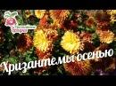 Хризантемы осенью: как приготовить цветы к зиме? urozhainye_gryadki