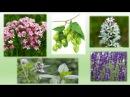Успокаивающий сбор лекарственные травы
