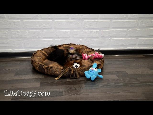 Купить малыша йоркширского терьера кукольного щеночка мальчика или девочку