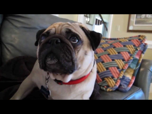 Pug Gets Scolded - Takes it Hard