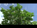 Stock-footage-big-bush-of-the-blossoming-chestnut-in-the-spring