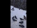 Утки в Кирове в минус 20 и градусный мороз