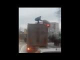 Борьба человека и свиньи на крыше фуры под Киевом