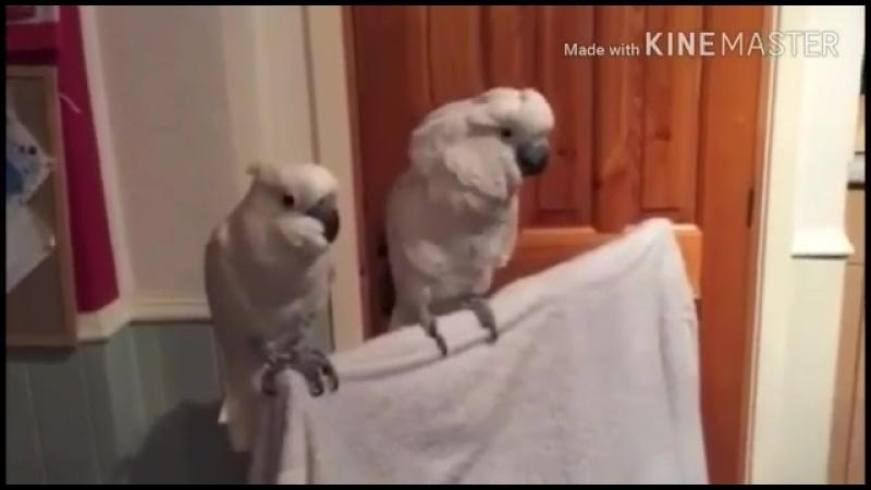 папугаи танцыют