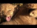 Четверка Злющих львов.Нападение на фотографа,Тайган.