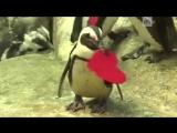 Пингвины отметили День святого Валентина