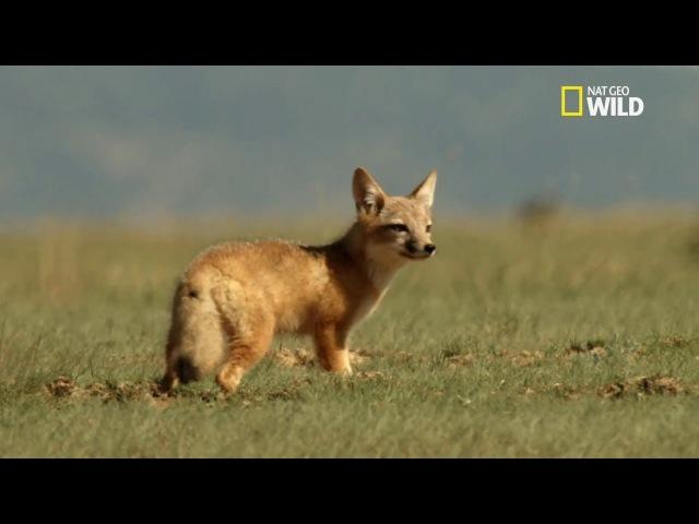 Renard nain attaque un chien de prairie