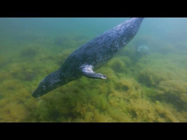 Diving with grey seals in Vilsandi, Saaremaa, Estonia with Eesti Sukeldujate Klubi, July 2017