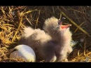 The nearly feed at Sauces Bald Eagles nest. 10.14 / 14 March 2018