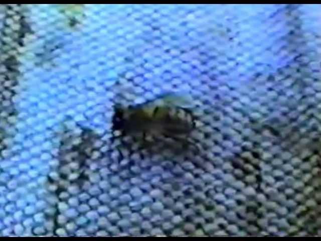 В мире медоносных пчёл