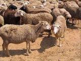 В Россию запретили ввозить баранов и верблюдов из Швейцарии