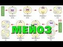 Мейоз - деление клетки | самое простое объяснение
