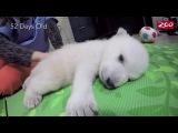 Baby Polar Bear Nap Time