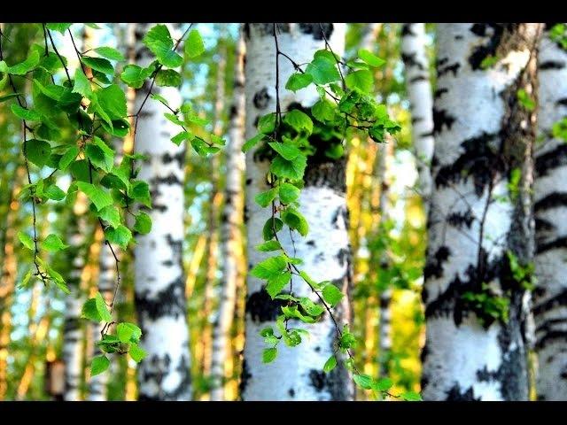 Береза. Целебные растения и их применение (Бабурин).