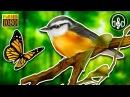 Это нужно слышать! Ласкающее пение птиц в летнем лесу!